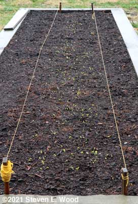 Early peas emerging