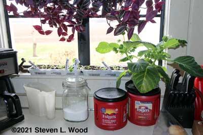 Wandering Jew, gloxinia, and egg carton petunias in kitchen window