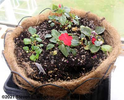 Trailing impatiens in cocoa hanging basket