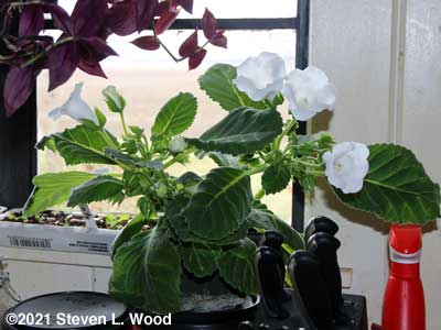 White blooming gloxinia in kitchen window