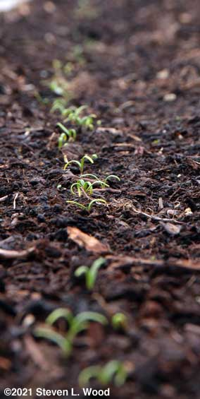 Spinach emerging