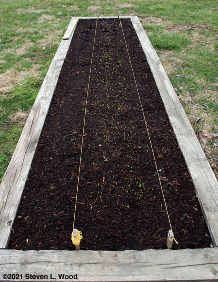 Spinach and early peas in narrow raised bed