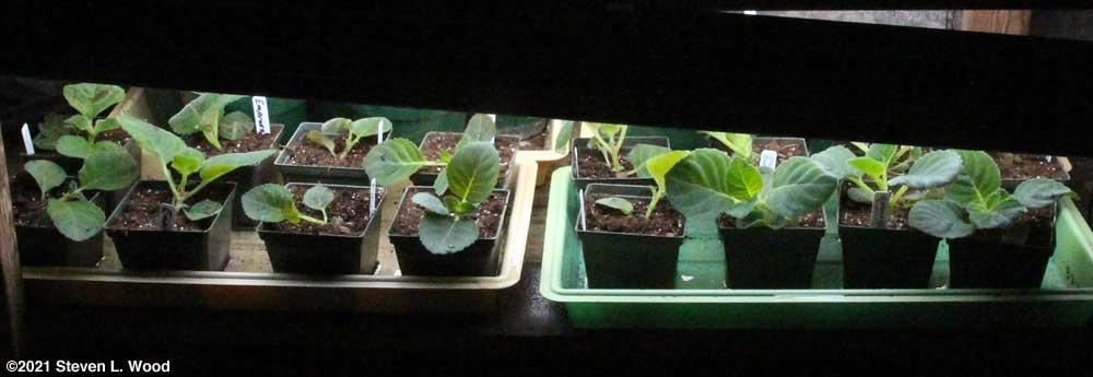 Newly transplanted gloxinia seedlings