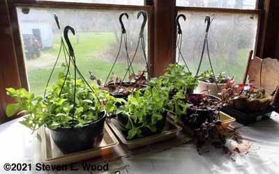 Hanging basket plants back inside