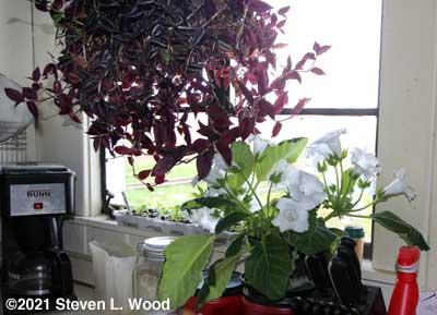 Gloxinia in kitchen window