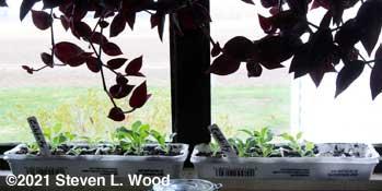 Egg carton petunias in kitchen window