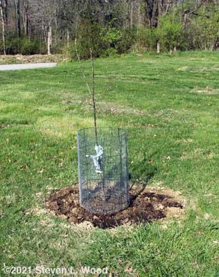 New Stayman Winesap apple tree