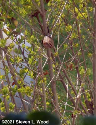 Praying mantis egg case hung in laural bush