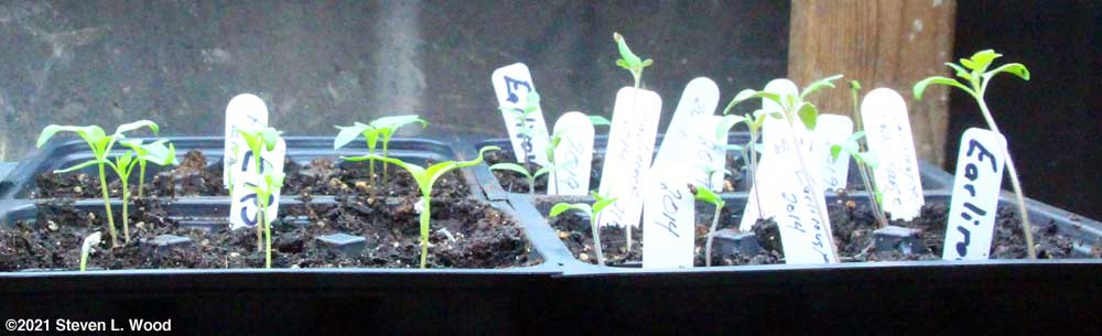Earliest Red Sweet pepper and Earlirouge tomato starts