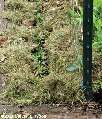 Spinach mulched
