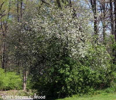 Volunteer apple tree in bloom - April 14, 2021