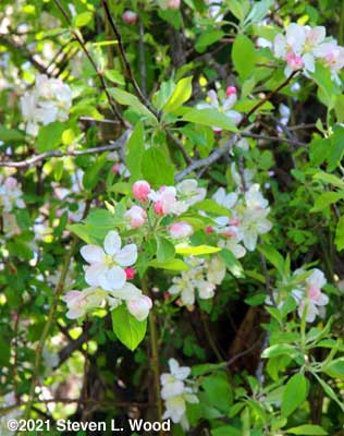 Closeup of apple blossoms