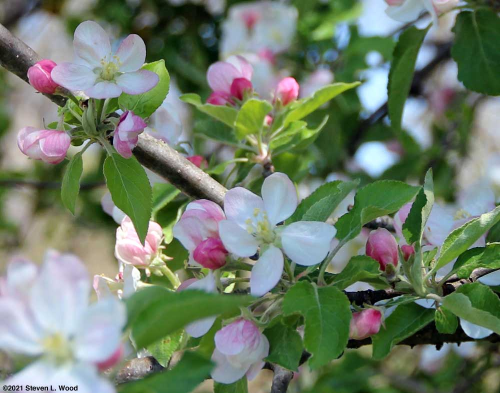 Apple Blossoms on April 14, 2021
