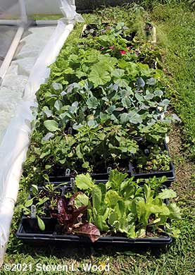 Cold frame plants after frost/freeze