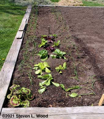Onions, lettuce, and geranium uncovered
