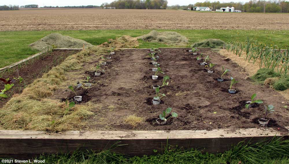Three rows of brassicas in