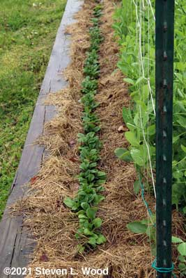 Spinach ready for thinning