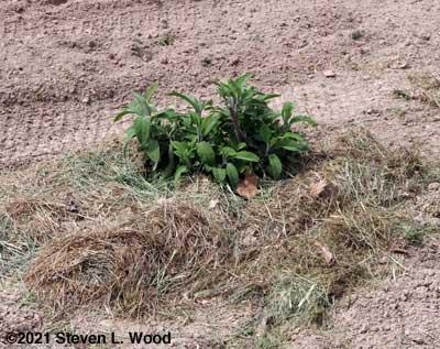 Mature sage plant