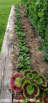 Spinach row before second thinning