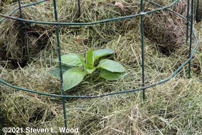 Earliest Red Sweet pepper plant mulched in