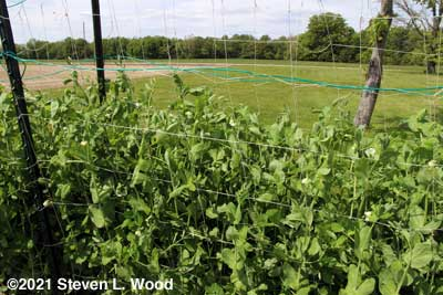 Tall peas coming into bloom