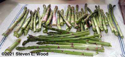 Yesterday's asparagus haul