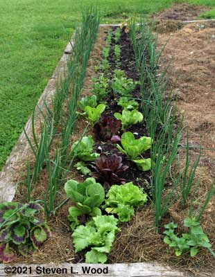 Softbed of lettuce, celery, beets, carrots, and onions