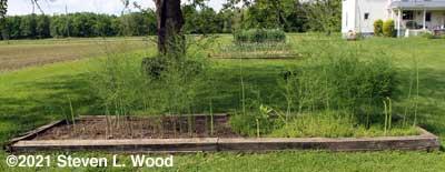 Raised asparagus bed half weeded