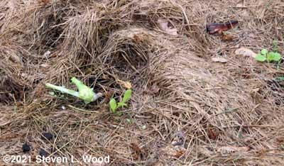 Damaged cauliflower and petunia weeds