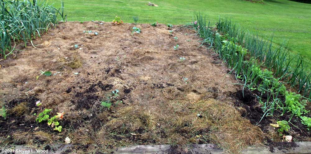 Lettuce and brassicas damaged again