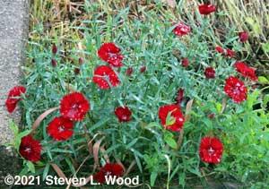 Red dianthus