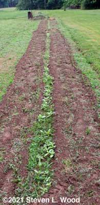 Long row of weedy zinnias