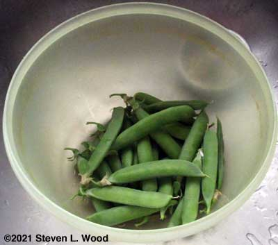 Our first pea harvest of the season