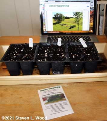 Starting Japanese Long Pickling cucumber transplants