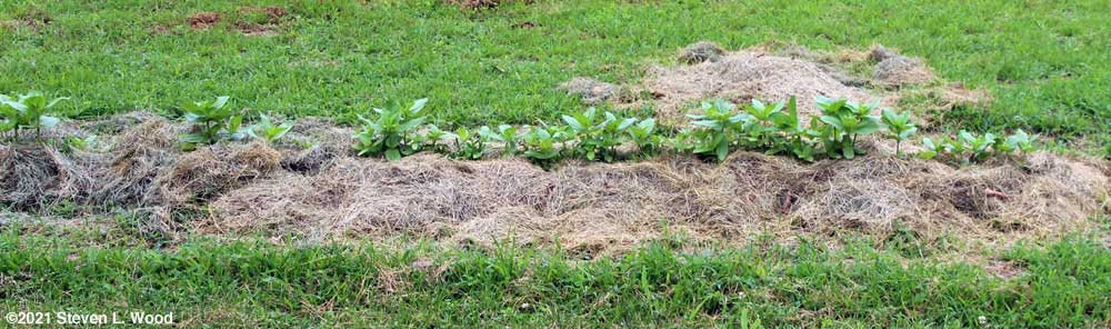 Some zinnias mulched