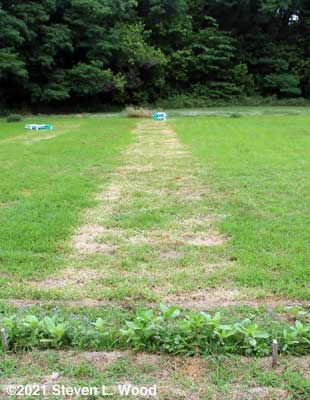 Row treated with homemade weedkiller