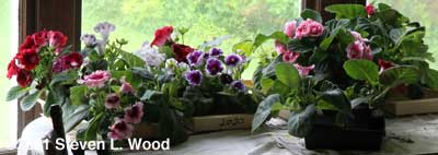 Gloxinia plants on dining room table