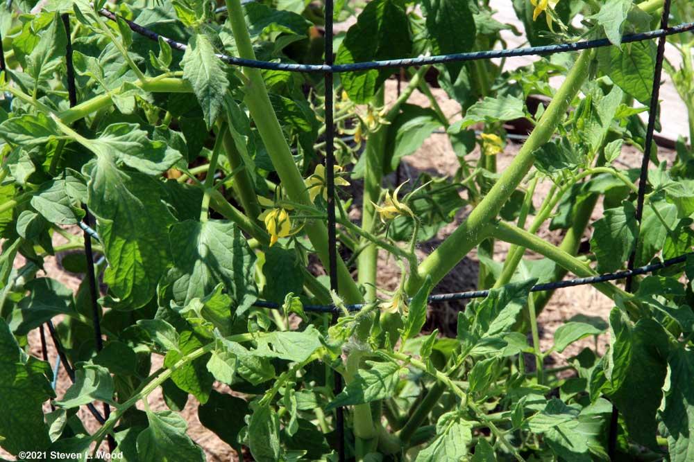 Earlirouge tomato blooms