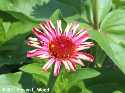 Our first zinnia bloom of the season with a ladybug