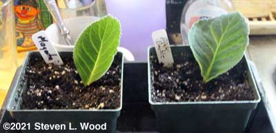 Gloxinia leaf cuttings started