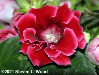 Red double gloxinia bloom