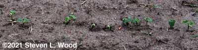 Kidney bean plants emerging