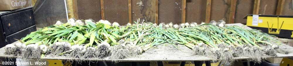 Garlic on drying table