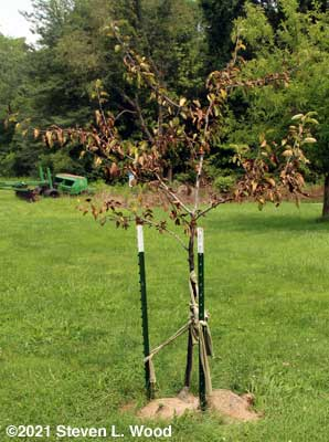 Dead or dying apple tree