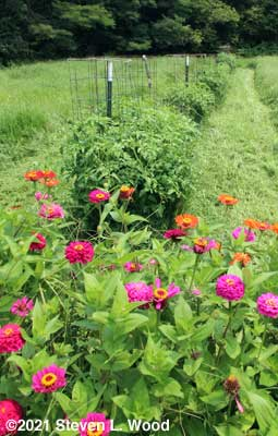Zinnias and tomato and pepper row in our East Garden - August 1, 2021
