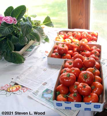 Tomatoes for the food bank