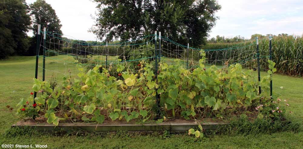 Sickly looking cucumber vines