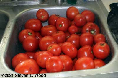 Some of the Earlirouge tomatoes picked