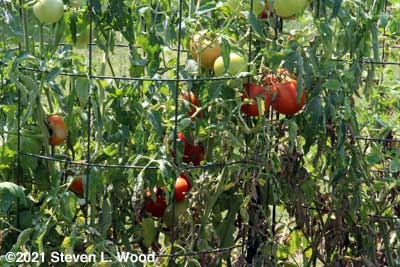 Earlirouge tomatoes recovering nicely from blight