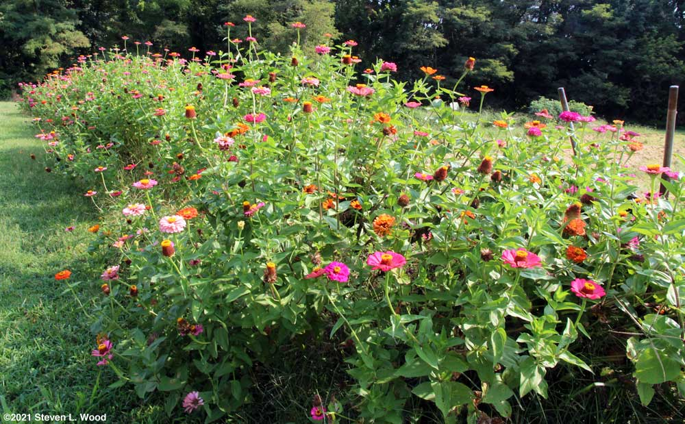 Our row of zinnias - August 27, 2021